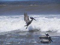 Surfing_pelicans.jpg