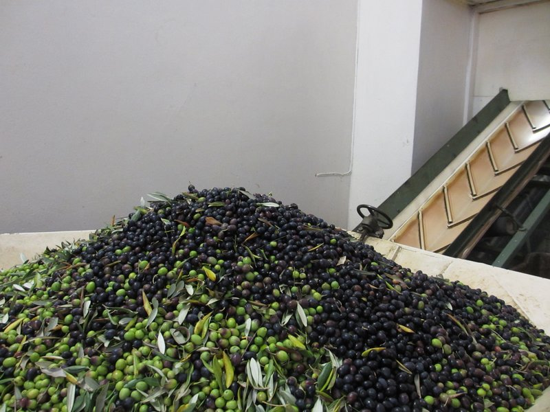 Olives ready for the hopper