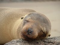 Sleeping Sealion, Galapagos Islands