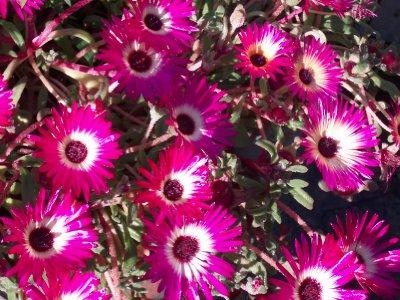 pink flowers ireland