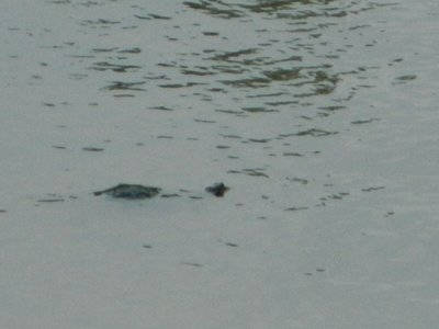 schildpadjes @ arkansas river