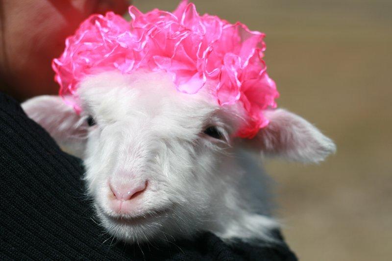 Pinky kiddy goat!