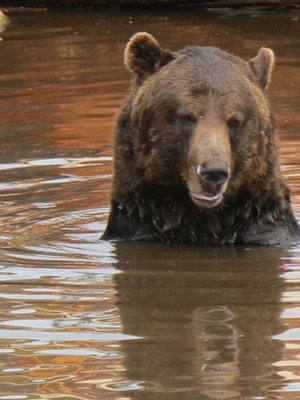 A grizzly taking a dip