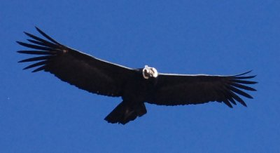 Colca Canyon - Condor (3)
