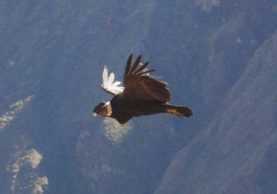 Colca Canyon - Condor (1)