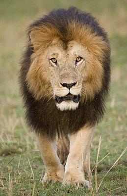 Black_Maned_Lion.jpg
