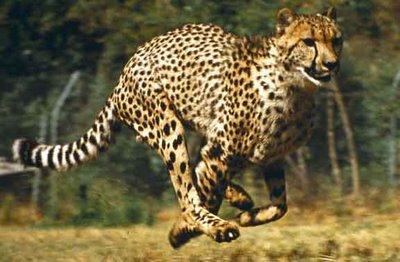 running-cheetah.jpg