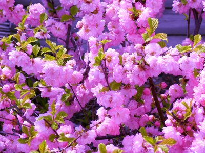 Flowering Almond Shrub