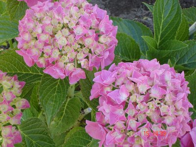Summers End Hydrangea