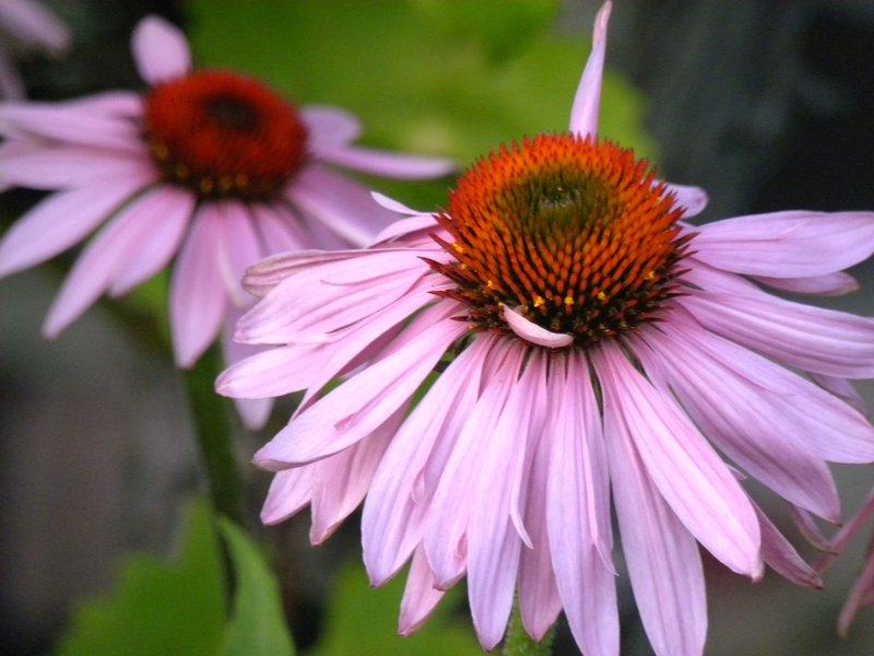 Bright Star Echinacea (5)