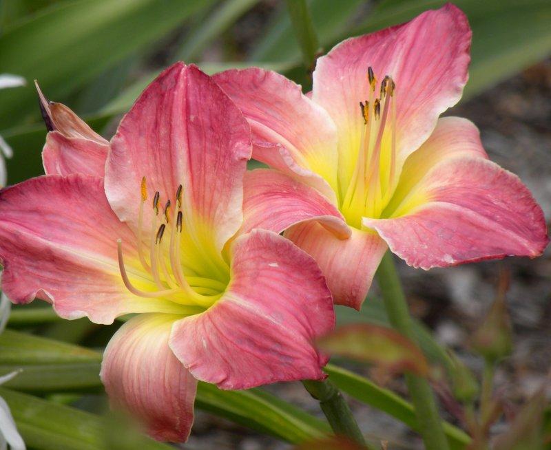 Sherry Fair daylilies
