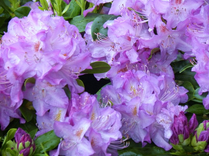 Spring Rhododendrums