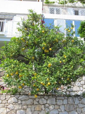 Lemon and Orange trees are all over the island