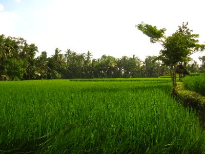 Les rizieres verdoyantes
