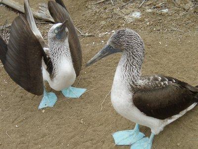 Galapagos-eenden