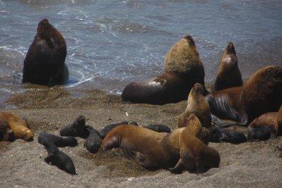 Fiere zeeleeuwen