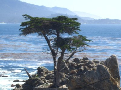 the famous lone tree on 17 mile drive