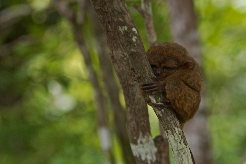 Tarsier Sleeping
