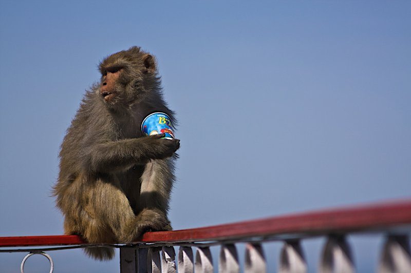 Monkies like Nescafe Tea
