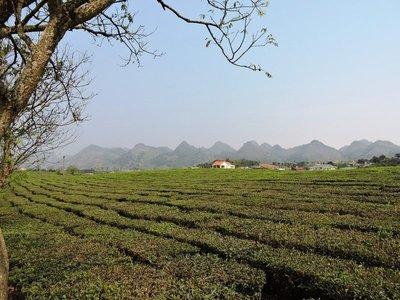 Moc Chau tea plantation