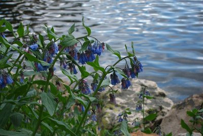 Blue bells by Mirror Lake