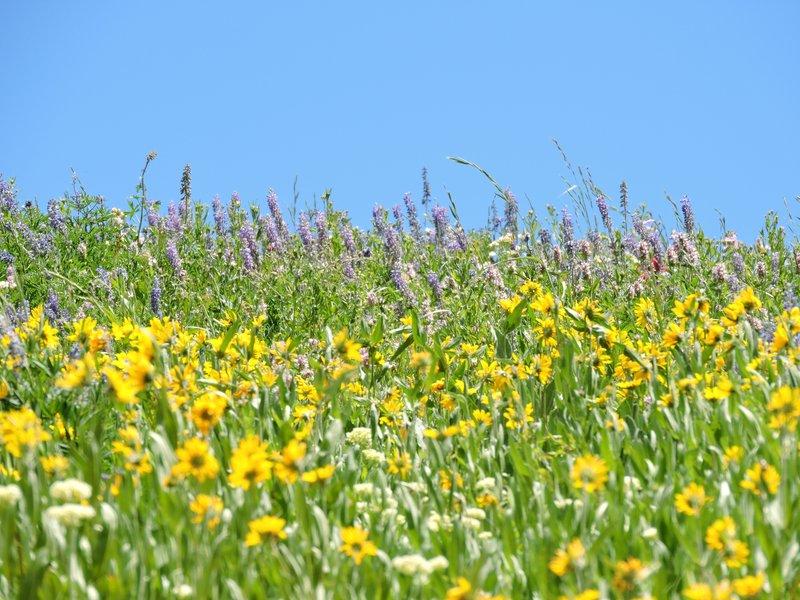Albion Basin meadow