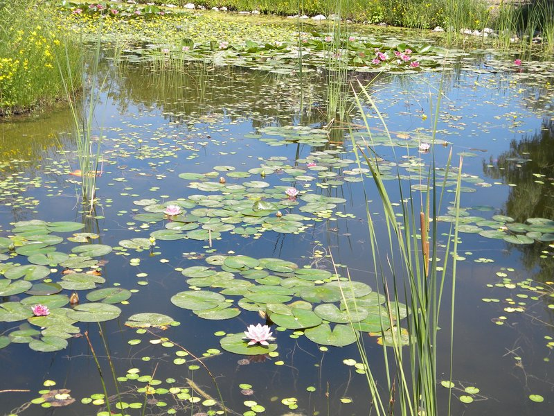 Lily pond in the children's garden in Thanksgiving Point