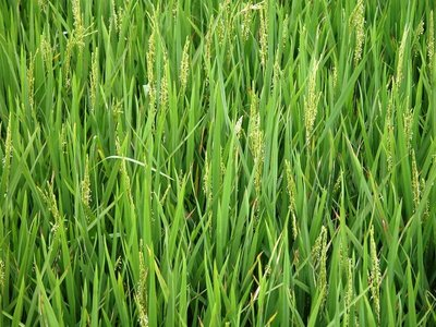Young rice