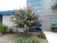 Crepe Myrtle in bloom everwhere