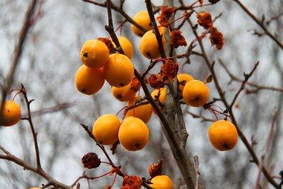 nz (594) wild fruit at twizel