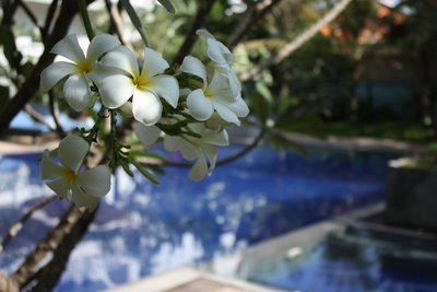 "Poolside plumeria flowers - the word frangipani literally means ""a perfume prepared from or imitating the odor of the flower of a tropical American tree or shrub, Plumeria rubra"" (www.dictionary.com).  Now we know why the place is called the Frangipani"