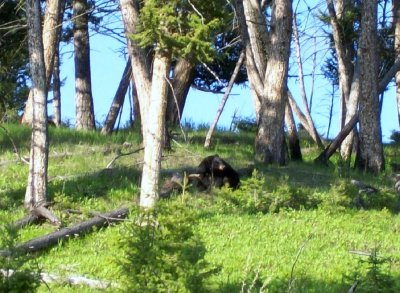 Black bears - one of three