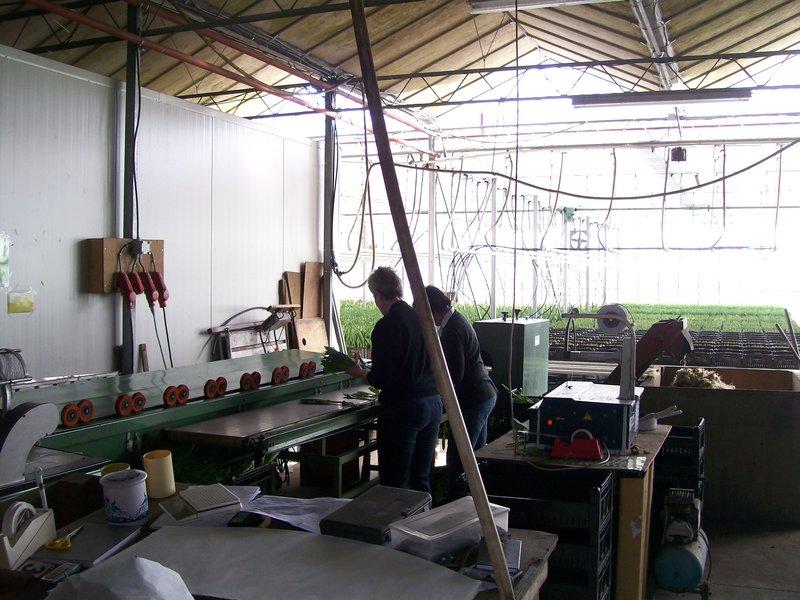 Tulip greenhouse- Schildwolde