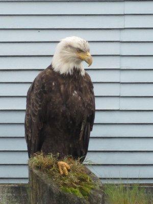 Bald_Eagle.jpg