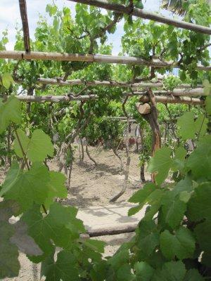 Vines_at_P..tillery.jpg