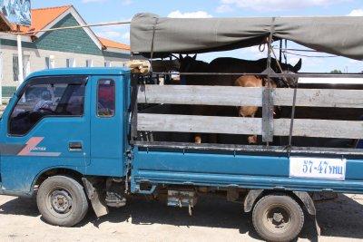 Horse transportation Mongolian style