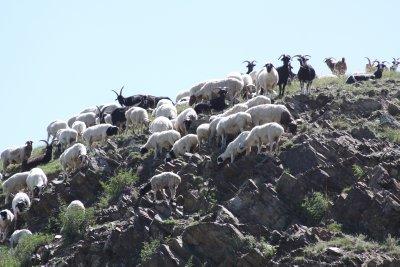 Goats appear suicidal