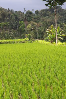 Rice fields - Lombok