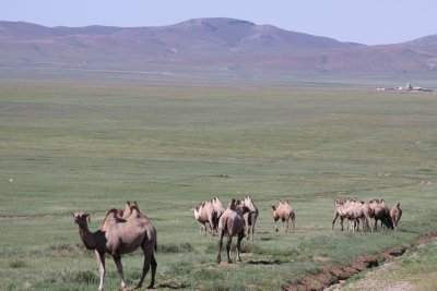 Camels roam free on the nomadic Steppes