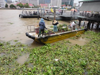 Clearing water hyacinths. A never ending task