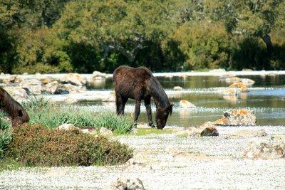 Wild horse at Giara di Gesturi - Sardinia