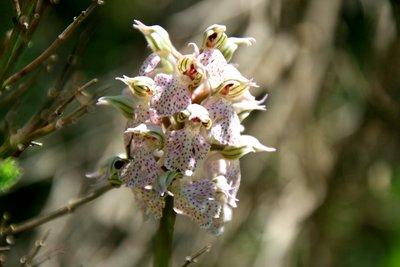 Wild Orchid at Giara di Gesturi - Sardinia