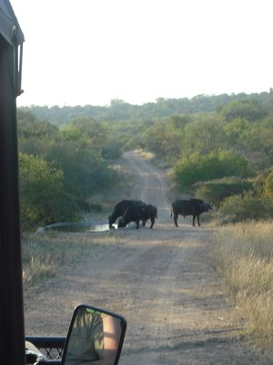 Water Buffalo! Our first turn during the sunset cruise
