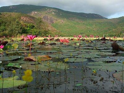 Water lilies at dawn