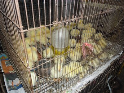 Chicks for sale at the Chatuchak Market