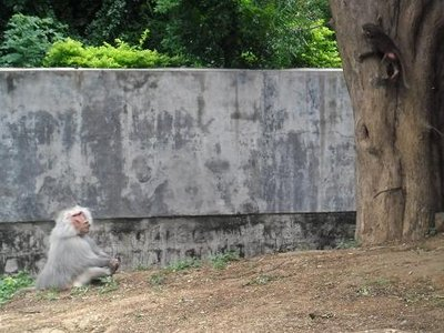 Monkeys at Mysore Zoo