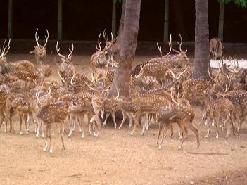 Deer at Mysore Zoo