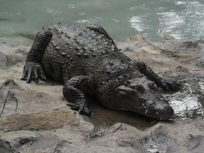 Crocodile at Mysore Zoo