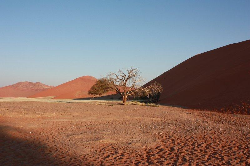 A tree amongst the sand dunes, Namib Desert, Namibia