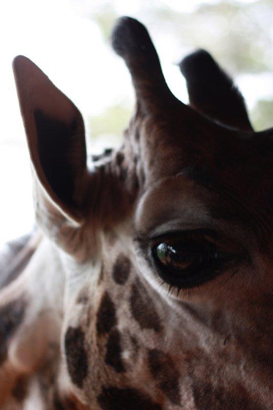 Giraffe, Giraffe Centre, Nairobi, Kenya